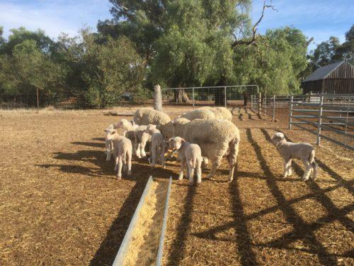 sheep, flock, animal, farm, wool