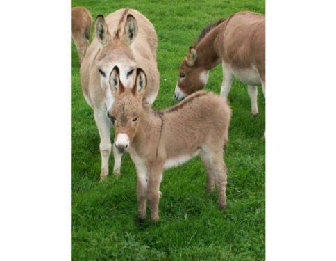 miniature donkey foal